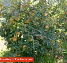 apple trees 3