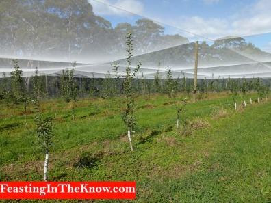 Rows of baby fuji apple trees
